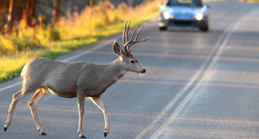 Deer hit collision car accident prevent minnesota